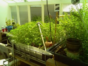 Fish for Aquaponic System: Plants growing on aquaponic system